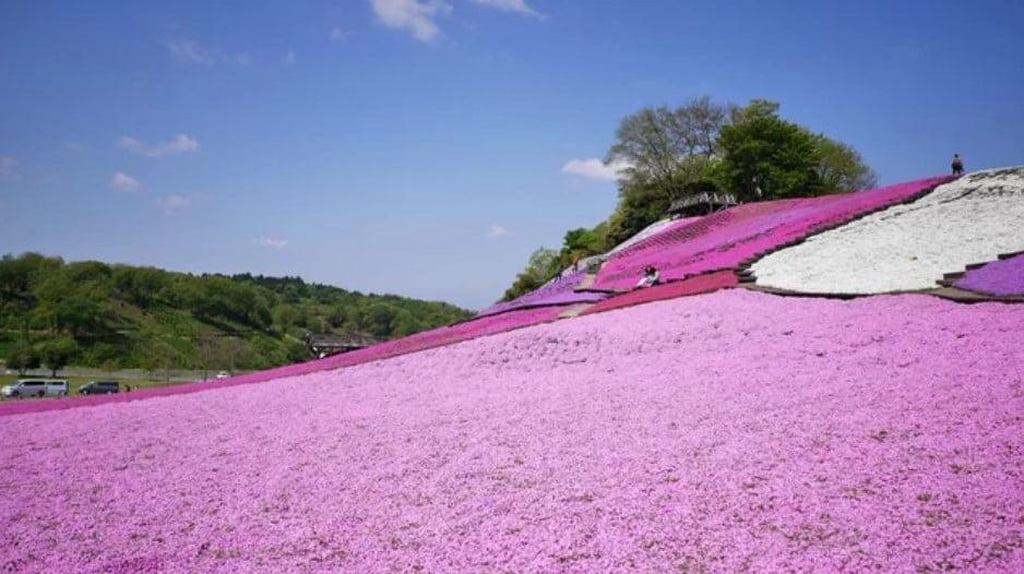 FESTIVAL DE SHIBASAKURA : 800000 FLORES