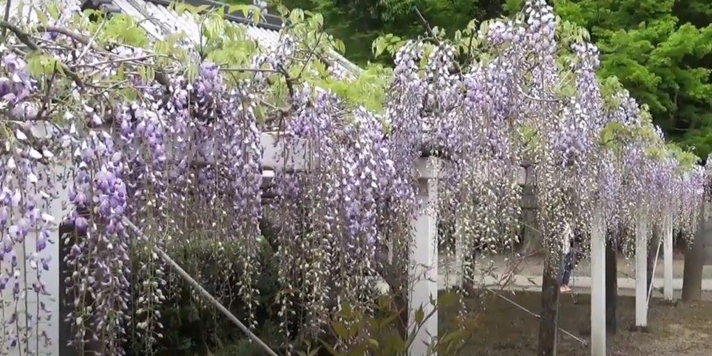 glicinas Fujii-dera Temple Senshin Ryujo