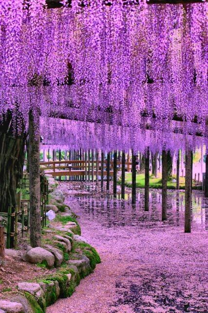 Tennogawa Park en Owari Tsushima Wisteria Festival