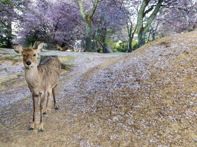 Ciervo en el Parque Nara Koen Nara Park