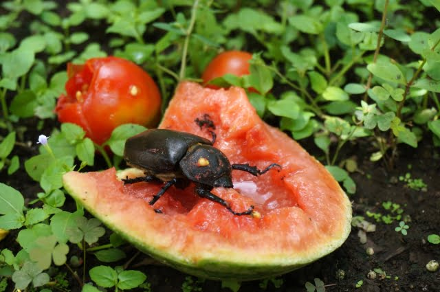 Beetle Eating japanese watermelon